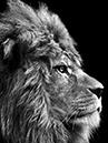 lion hp